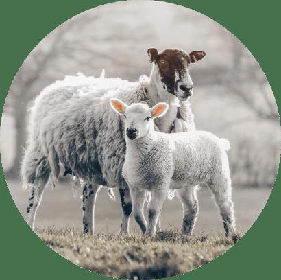 Schafe zur Landschaftspflege